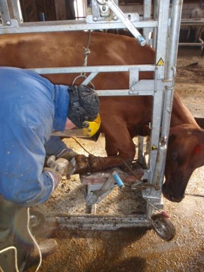 заболевания копыт крупного рогатого скота